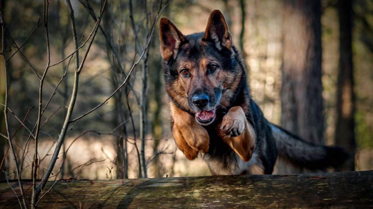 German Shepherd health problems