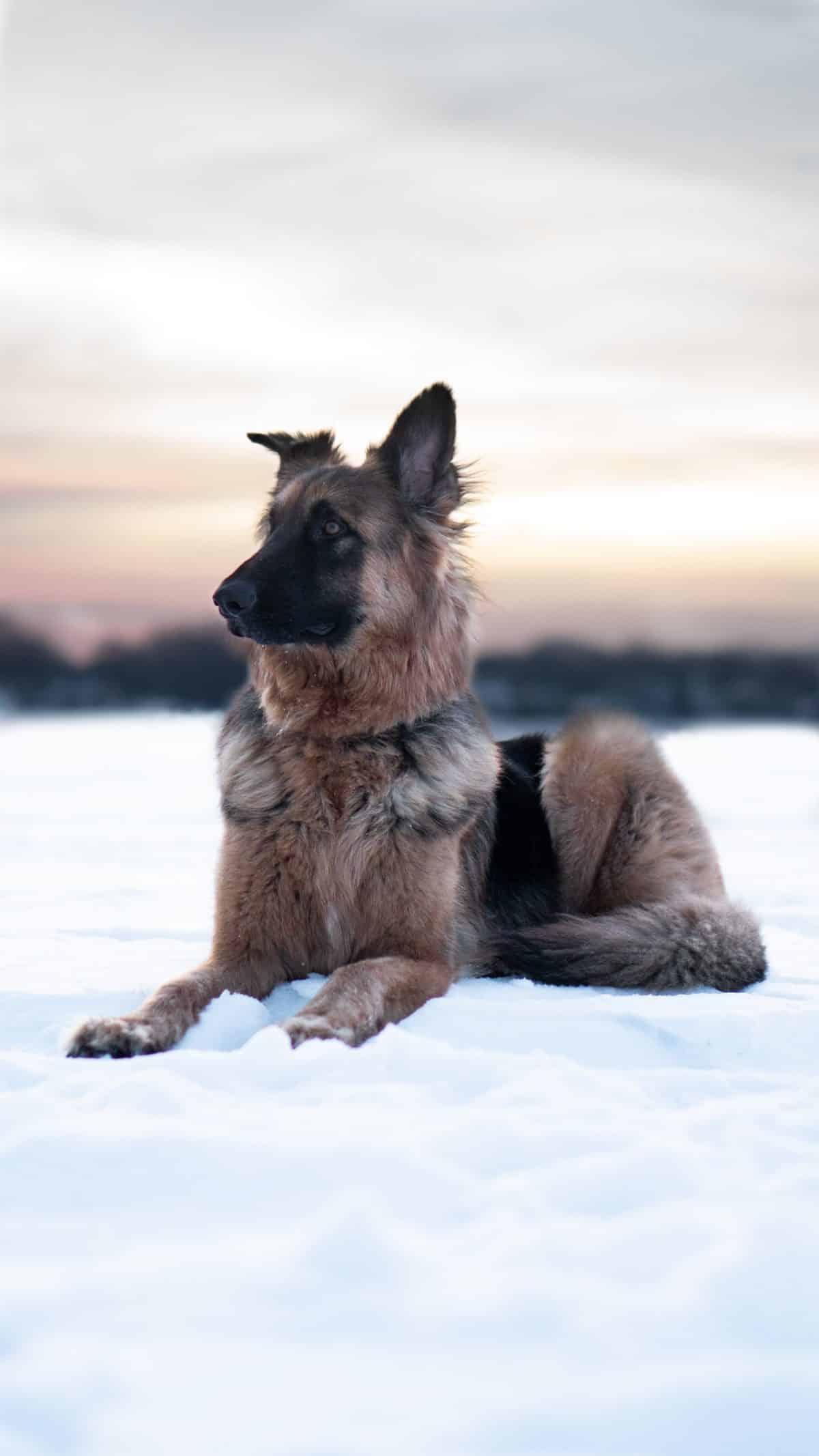 take care of a German Shepherd