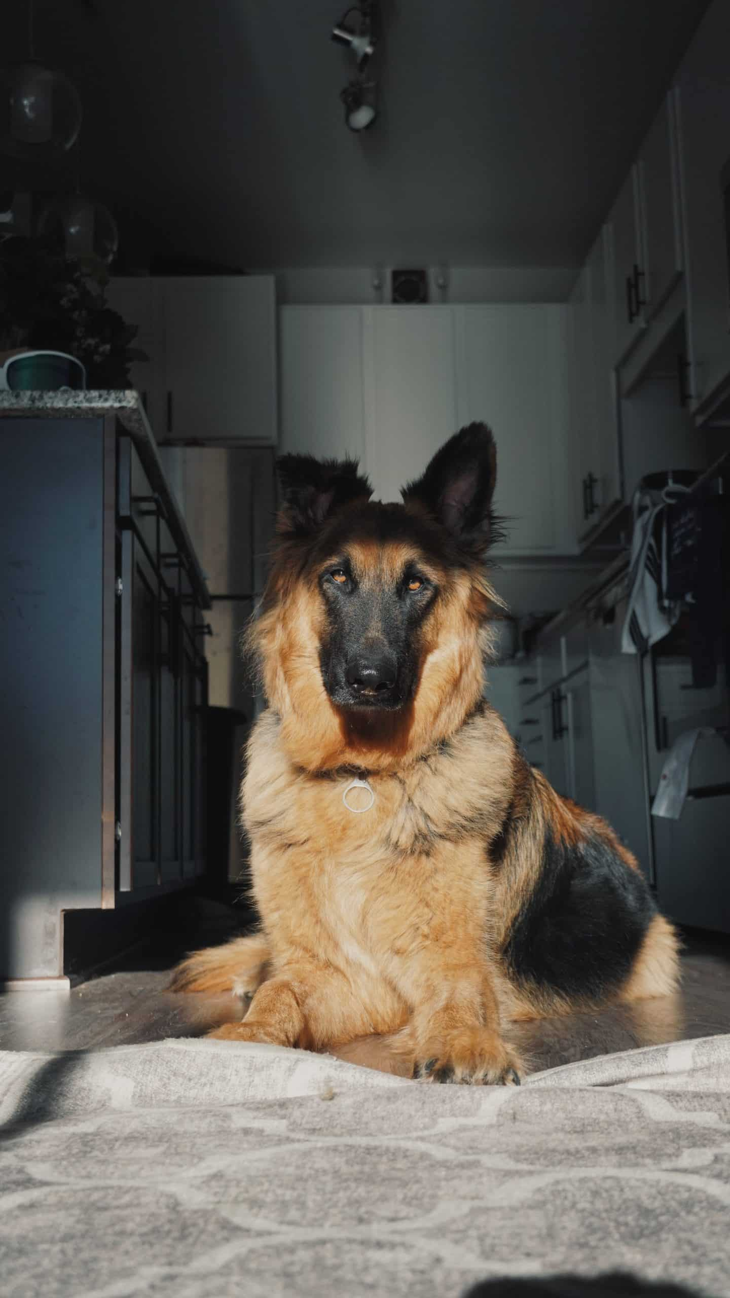 CARING FOR A German Shepherd Dog