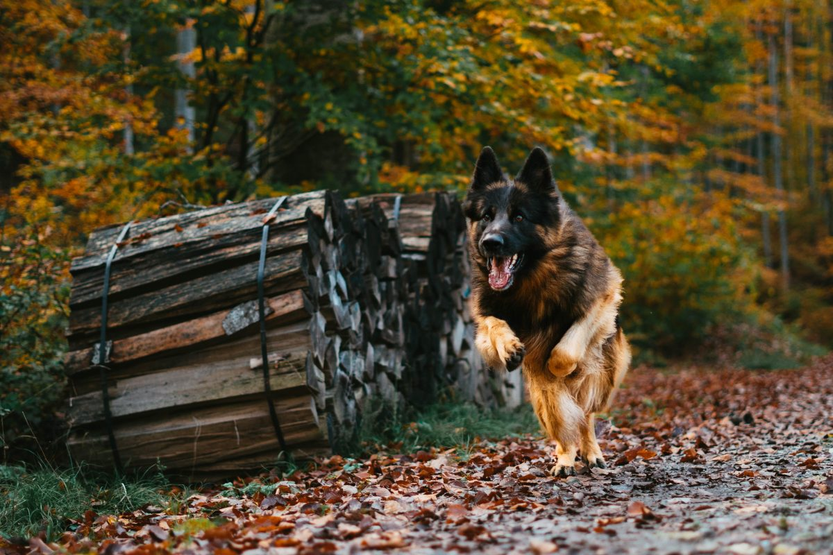 Training German shepherd